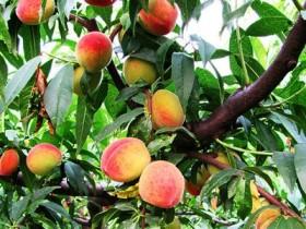 桃子的功效与作用,桃子的营养价值,桃子的吃法大全