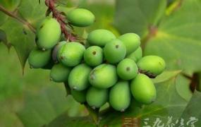 青果的功效与作用及食用方法,青果的副作用与禁忌