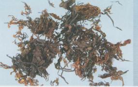 海藻的功效与作用及禁忌,中药海藻图片