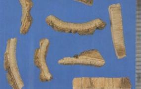 海桐皮的功效与作用,中药海桐皮图片