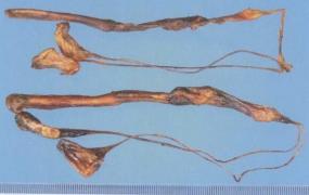 海狗肾的功效与作用及禁忌,中药海狗肾图片