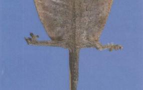 蛤蚧的功效与作用及禁忌,中药蛤蚧图片