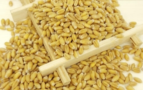 小麦的功效与作用,中药淮小麦图片