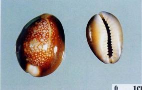紫贝齿的功效与作用,中药紫贝齿图片