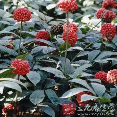 三七又名田七,为伞形目五加科植物