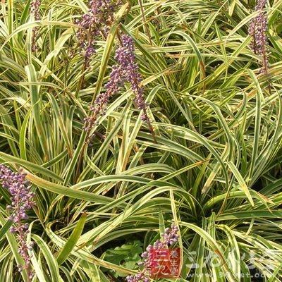 麦冬黄芪泡水喝的功效之麦冬的功效