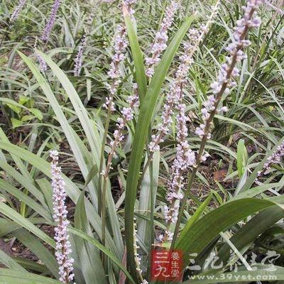 麦冬(Ophiopogon japonicus)又名沿阶草、书带草、麦门冬、寸冬