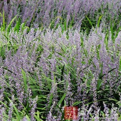 麦冬和菊花都是泡茶的精品材料
