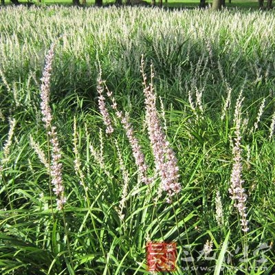 麦冬是有用药禁忌的,这些禁忌在古代医书中也有记载