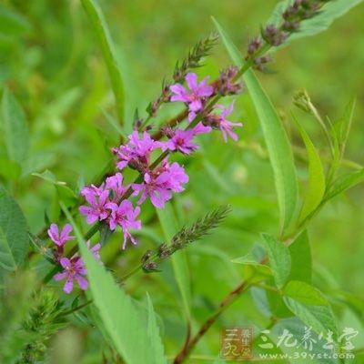 益母草颗粒含的主要成分是益母草