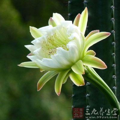 """霸王花又叫做剑花,花朵很大,样子清秀可人,呈淡黄色。因为其根茎发达,显得十分霸气,因此叫做""""霸王花"""""""