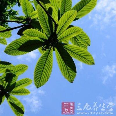枇杷是原产中国的蔷薇科常绿植物