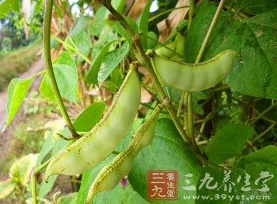 扁豆是豆科,属多年生、缠绕藤本植物