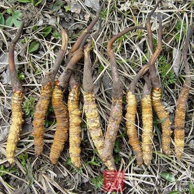 高血压可以吃冬虫夏草。不过不要吃的太多