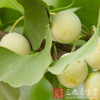 白果具有食疗作用和医用效果