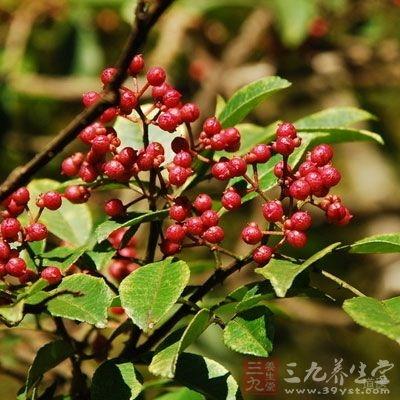 花椒可用于治疗积食、停饮、呃逆、呕吐、风寒湿邪所致的关节肌肉疼痛