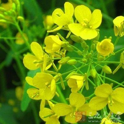 油菜花粉含黄酮醇较高,有抗动脉粥样硬化、治疗静脉曲张性溃疡、降低胆固醇和抗辐射作用