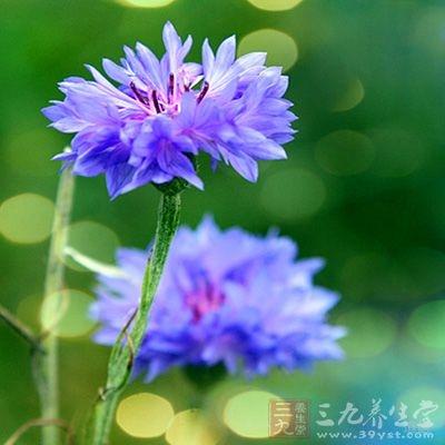 矢车菊花粉有利尿、抗风湿作用