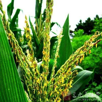 玉米花粉的功效:利胆消肿、退黄、利血、利尿、降血压
