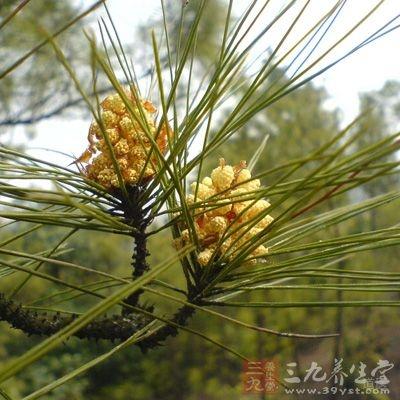 松花粉是中国医学宝库中的药食兼用花粉品种