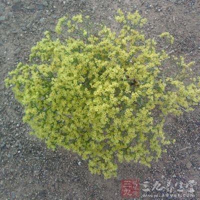 柴胡主要产于华北、东北等地