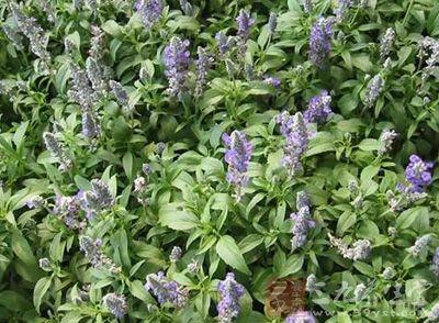 紫草的图片