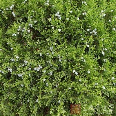 茎枝类圆柱形,红棕色,小枝扁平,直径1~2mm