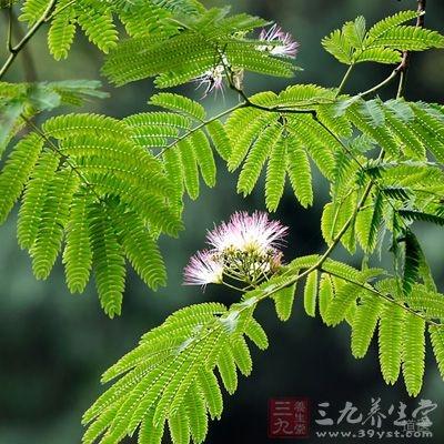 合欢属于落叶乔木,伞形树冠