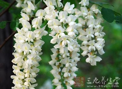 槐花指的的豆科植物槐的花和花蕾
