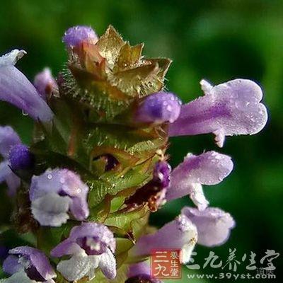 夏枯草可以用来治疗瘰疬和鼠瘘以及瘿瘤等病症