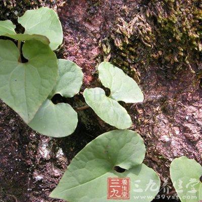 细辛为马兜铃科植物北细辛、汉城细辛或华细辛的干燥全草