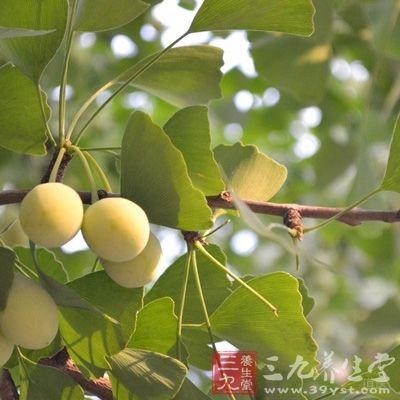 银杏是指银杏树的果实,也称白果
