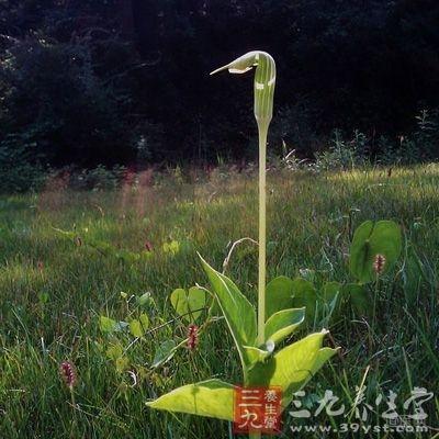 水半夏为天南星科植物戟叶犁头尖的干燥块茎