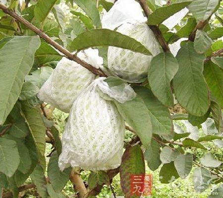 番石榴叶、果的作用
