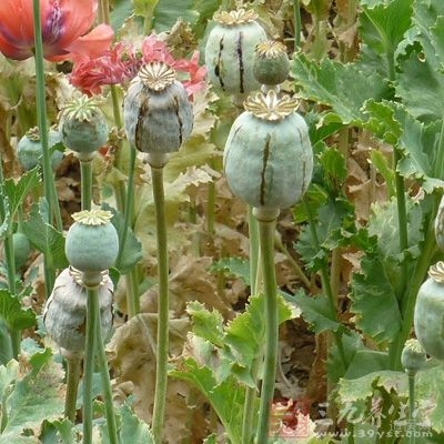罂粟是被人们用作调料,但是,现在越来越多的人将他遗弃了