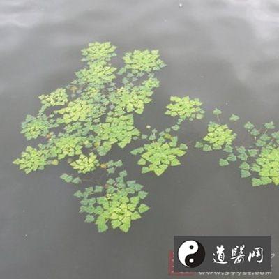 叶状茎扁平,倒卵形或椭圆形,直径3-6毫米,长6-9毫米