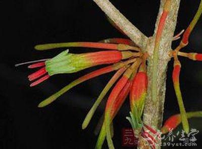 桑寄生属常绿寄生小灌木草本植物