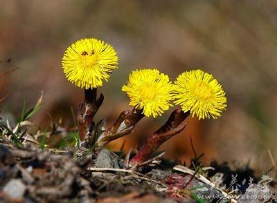 款冬花,属于菊科款冬属草本植物