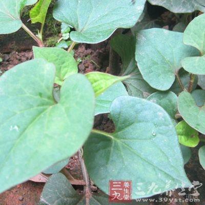 细叶香茶菜20克,鱼腥草16克