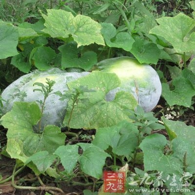 感冒能吃冬瓜
