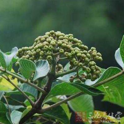 吴茱萸的功效与作用及禁忌,吴茱萸的食用方法