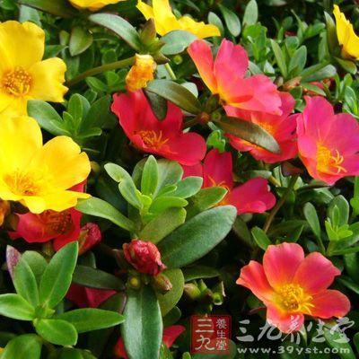 马齿苋是一种药食两用的植物,一般生长在路边或者田野里