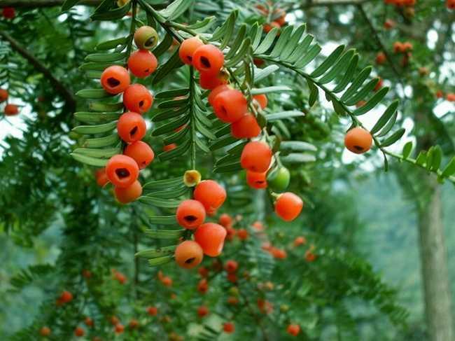 红豆杉图片2
