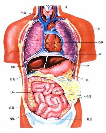 人体内脏结构彩图-图2