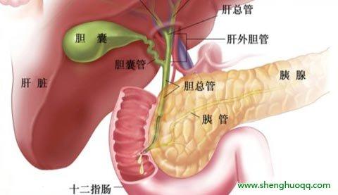 胆囊和胰腺的位置