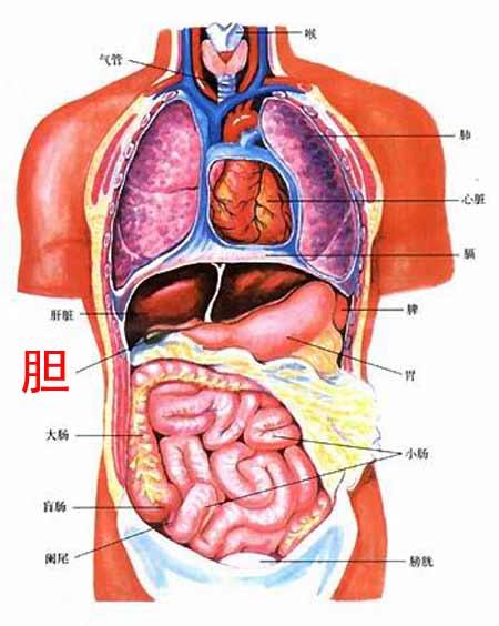胆的位置(图一)