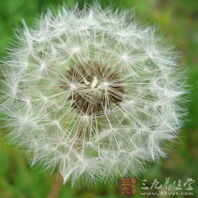 蒲公英叶子具有抗肿瘤的作用