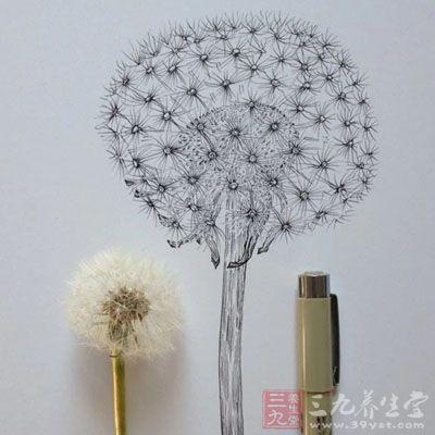 蒲公英为全株含白色乳汁的菊科多年生草本野生植物
